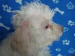 Chien Flip - Caniche Femelle (3 ans)