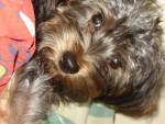 Chien MIkko, yorkshire croisé caniche - Caniche Femelle (0 mois)