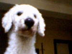 Chien PRINCE caniche géant - Caniche Femelle (0 mois)