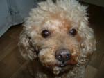 Chien LEO, caniche abricot - Caniche  (0 mois)