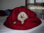 Chien caniche: Rysis - Caniche  (0 mois)