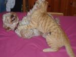 Chien Velcro caniche X york et Brice le chat - Caniche  (0 mois)