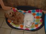 Chien Gaufrette caniche abricot - Caniche  (0 mois)