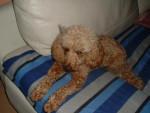 Chien Caniche nain Gaufrette - Caniche  (0 mois)