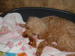 Chien gaufrette caniche nain - Caniche  (0 mois)