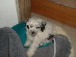 Chien Sally caniche toy - Caniche  (0 mois)