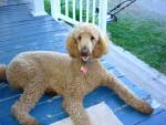 Chien rouky - Caniche Femelle (4 ans)