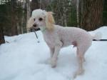 Chien Besner dans la neige - Caniche  (0 mois)