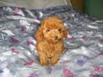 Chien Chiot caniche Toy rouge 2 mois - Caniche  (2 mois)