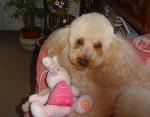 Chien Sally Caniche abricot - Caniche  (0 mois)