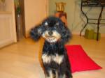 Chien Spoky caniche toy 11 mois - Caniche Femelle (11 mois)