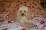 Chien BELLE SALLY - Caniche  (0 mois)