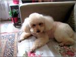 Chien PETITE SALLY - Caniche  (0 mois)
