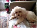 Chien PETITE SALLY - Caniche Femelle (0 mois)