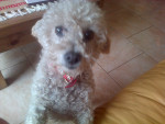 Chien Gina^^ - Caniche Femelle (7 ans)