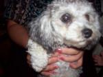 Chien minnie - Caniche Femelle (3 mois)