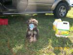 Chien Tuffy - Caniche Femelle (8 ans)