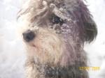 Chien snow tuffy - Caniche Mâle (8 mois)