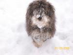 Chien snow tuffy - Caniche Femelle (8 mois)