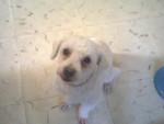 Chien Peluchin - Caniche Femelle (12 ans)