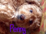 Chien Penny - Caniche Femelle (5 ans)