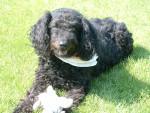 Chien Daisy 10 ans - Caniche Femelle (10 ans)
