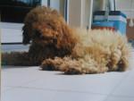 Chien bébé Martin - Caniche Femelle (4 mois)