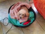 Chien Odie - Caniche Femelle (13 ans)