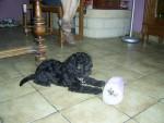 Chien canelle (chien de mamie) - Caniche Femelle (10 mois)