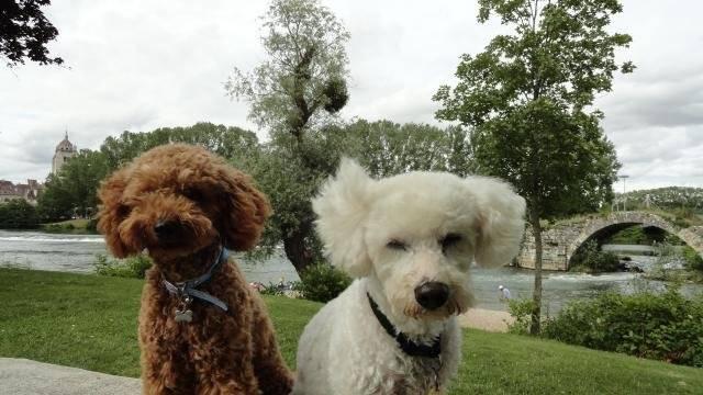 Photo Gringo caniche nain et Volfy bichon croisé : Caniche
