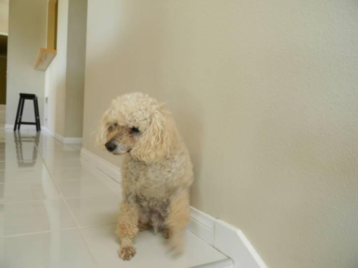 Chien Heidi - Caniche Femelle (6 ans)