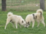 Chien Cutes :D - Laïka de Sibérie orientale  ()