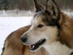 Chien Laika - Laïka de Sibérie orientale Femelle (1 an)