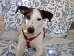Chien Roucky - Parson Russell Terrier Mâle (2 ans)