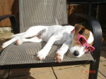 Chien Archie - Parson Russell Terrier Mâle (2 ans)
