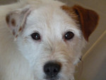 Chien DJANGO - Parson Russell Terrier Mâle (3 ans)