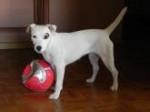 Chien Sundae - Parson Russell Terrier Femelle (1 an)