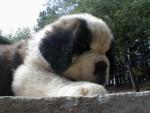 Chien saint-bernard - Saint Bernard Femelle (0 mois)