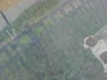 Chien Kali Saint Bernard - Saint Bernard  (0 mois)