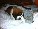 Chien achille le saint bernard - Saint Bernard  (0 mois)
