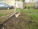 Chien eden saint-bernard - Saint Bernard  (0 mois)