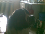 Chien dixy - Saint Bernard Mâle (2 ans)