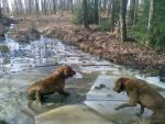 Chien jessie and duke - Retriever de la baie de Chesapeake  (0 mois)