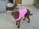 Chien Jesse in Pink! - Retriever de la baie de Chesapeake Femelle (5 ans)