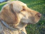 Chien Annie - Retriever de la baie de Chesapeake Femelle (6 ans)