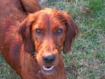 Chien Ma biscotte mouillée, setter irlandaise, 15 mois - Setter irlandais rouge  (1 an et 3 mois)