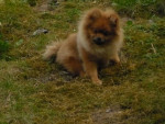 Chien Funny - Spitz allemand Mâle (1 an)