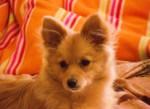Chien Eros - Spitz allemand Mâle (4 ans)
