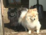 Chien spitz nain (Poméranien), Louky(noir) & Fille(blonde) - Spitz allemand  (0 mois)