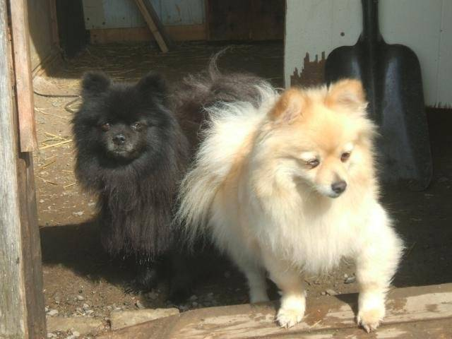 Photo spitz nain (Poméranien), Louky(noir) & Fille(blonde